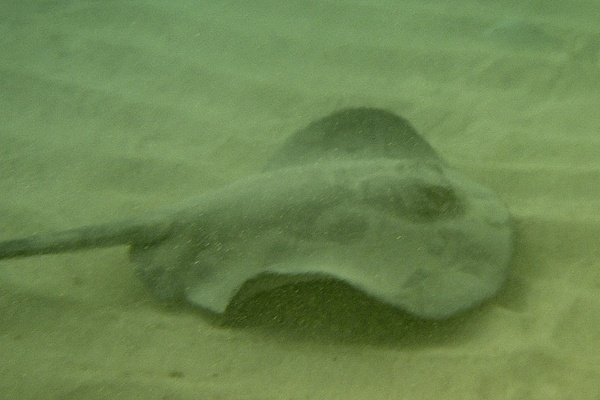 Stingrays - Whiptail Stingray