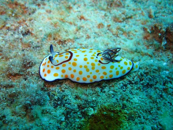Nudibranch - Fried Egg Nudibranch