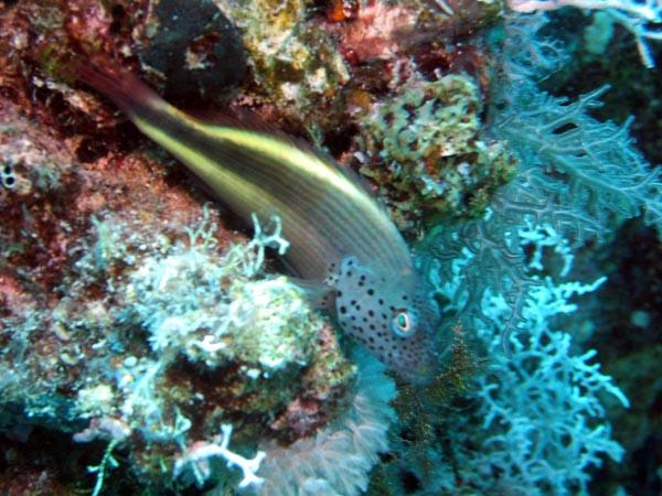 Hawkfish - Blackside Hawkfish