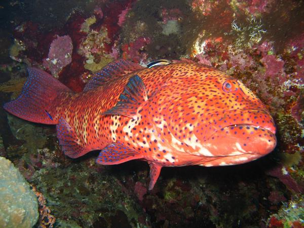 Groupers - Roving Coral Grouper