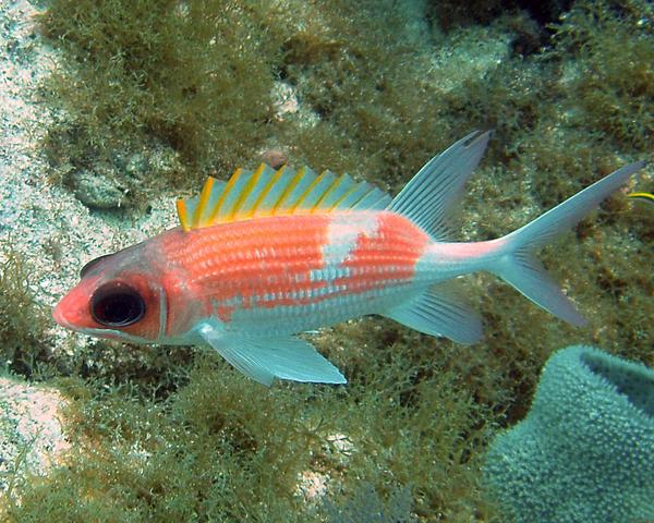Squirrelfish - Common Squirrelfish