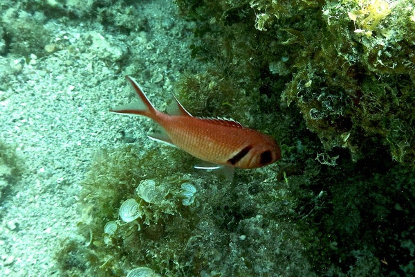 Squirrelfish - Blackbar Soldierfish