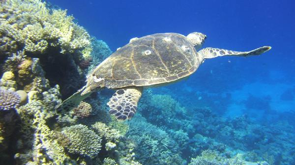 Turtle - Green Sea Turtle