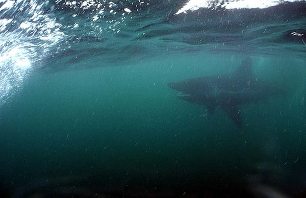 Sharks - Basking Shark
