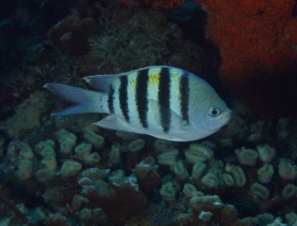 Damselfish - Sergeant Major