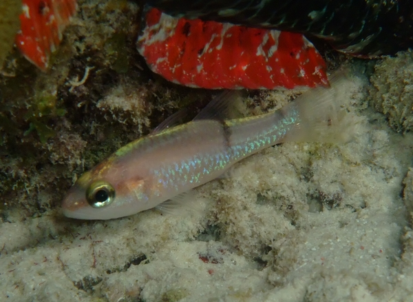 Cardinalfish - Barred Cardinalfish