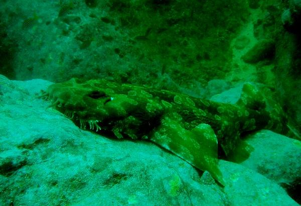 Sharks - Spotted Wobbegong