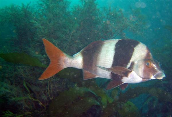 Morwongs - Magpie Perch
