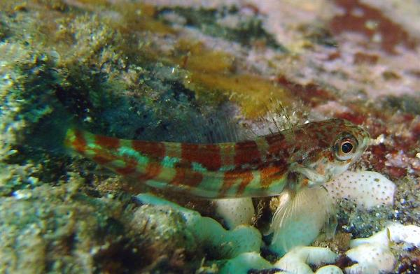 Gobies - Broad-banded Pygmy Goby