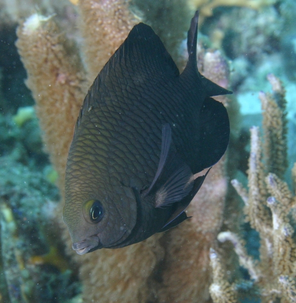 Damselfish - Dusky Damselfish