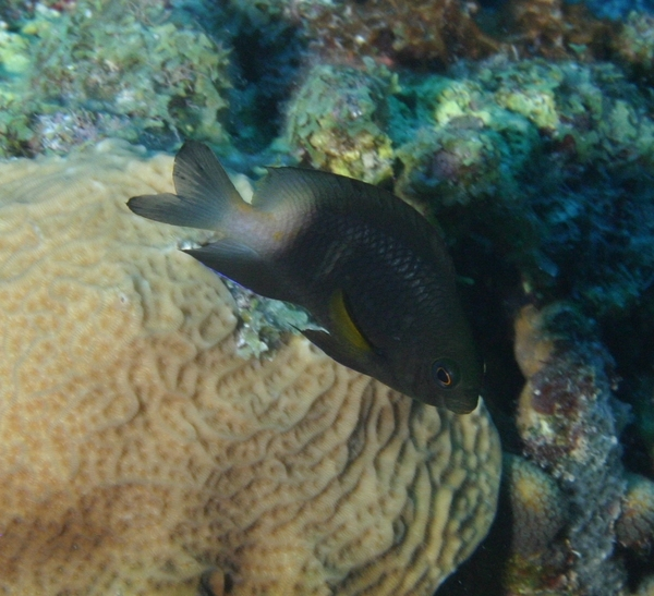 Damselfish - Bicolor Damselfish