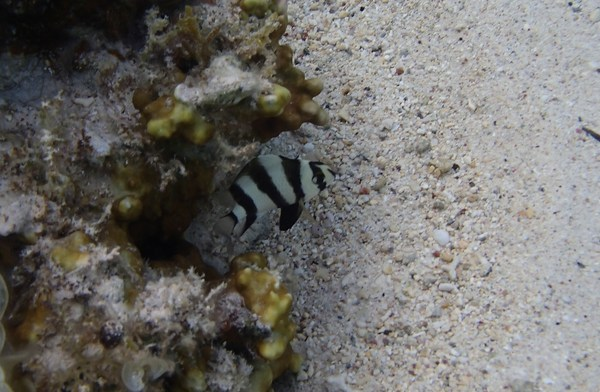 Damselfish - Blackbarred Demoiselle