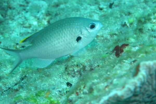 Damselfish - Brown Chromis