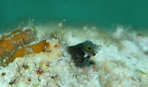 Blennies - Secretary Blenny