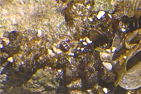 Limpets - Jamaica Limpet
