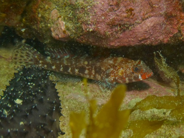 Gobies - Red mouth goby