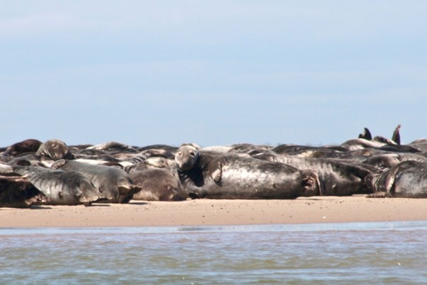 Seals - Grey Seal
