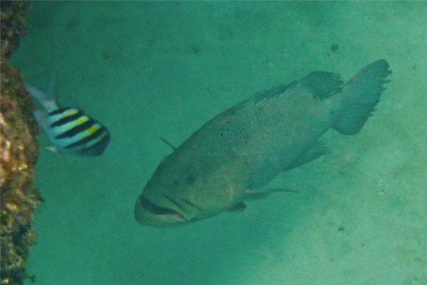 Groupers - Tiger Grouper