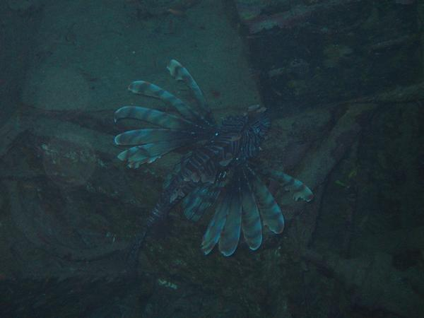 Lionfish - Common Lionfish