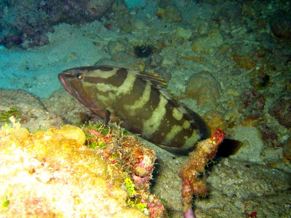 Groupers - Nassau Grouper