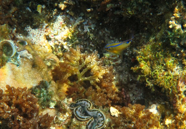 Damselfish - Onespot Demoiselle