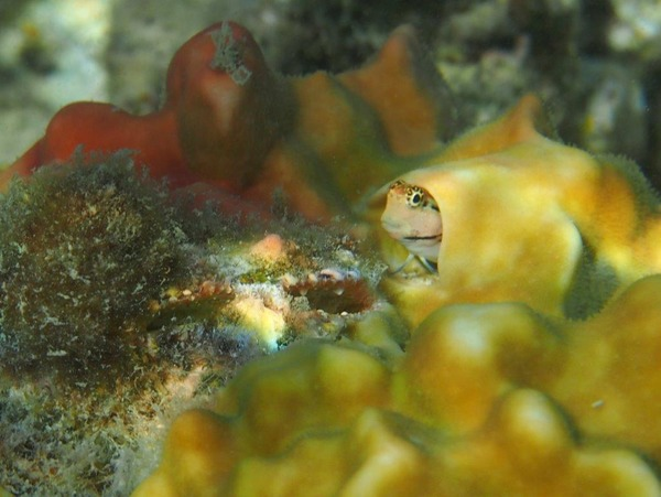 Blennies - Nalolo Blenny