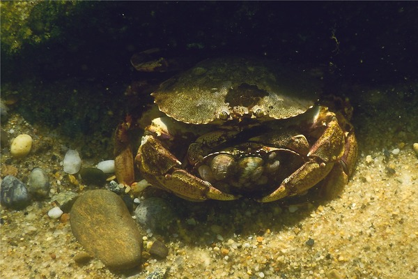 Crabs - Atlantic Rock Crab