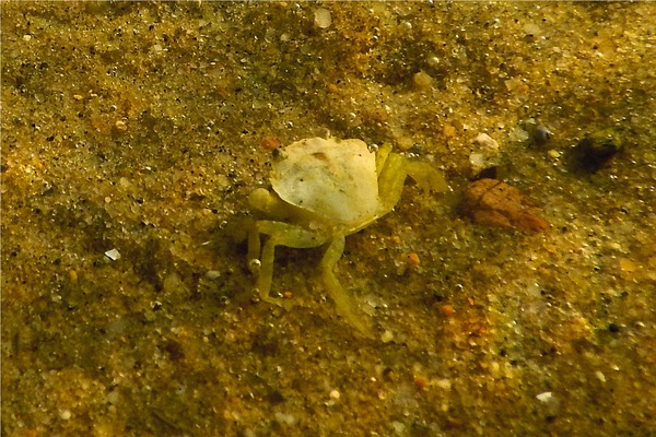 True Crabs - European Green Crab
