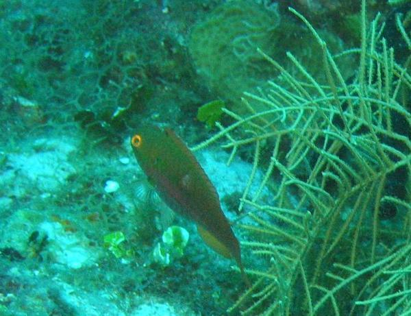 Parrotfish - Greenblotch Parrotfish