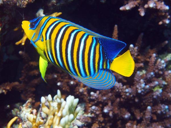 Angelfish - Royal Angelfish