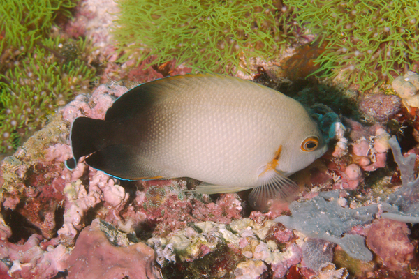 angelfish - Pearl-scaled angelfish
