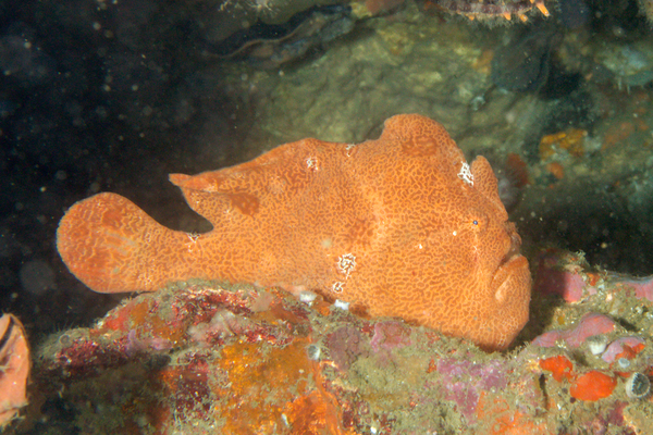 Frogfish - Commerson's Frogfish