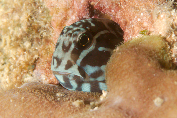 Blennies - Barred Blenny