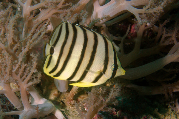 Butterflyfish - Eight-banded butterflyfish