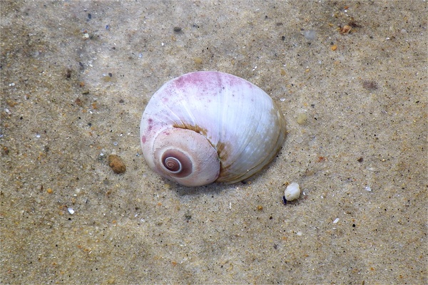 Sea Snails - Northern Moon Snail