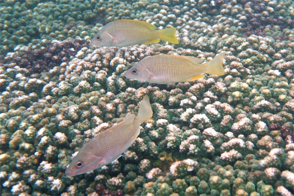 Snappers - Amarillo Snapper