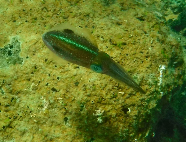 Squid - Caribbean Reef Squid