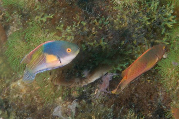 Wrasse - Bluehead Fairy Wrasse