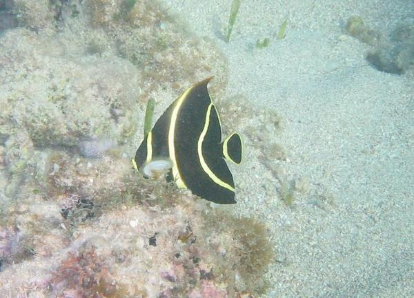 Angelfish - French Angelfish