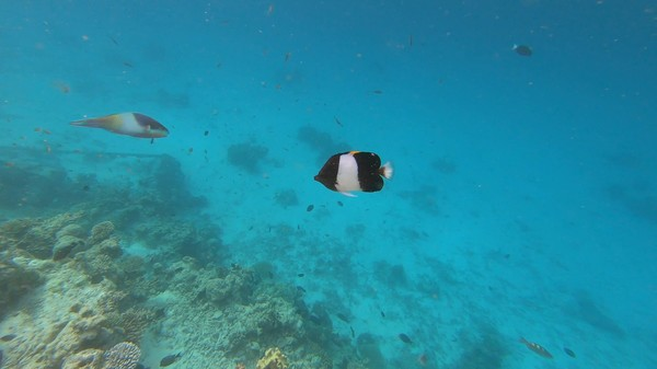Butterflyfish - Brown-and-white Butterflyfish