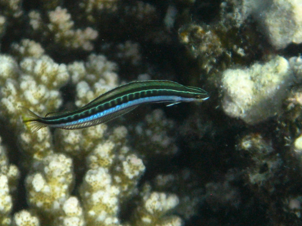 Blennies - Piano Fangblenny