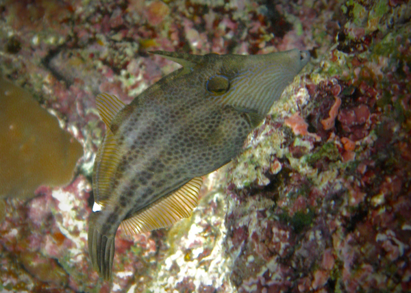 Filefish - Honeycomb filefish