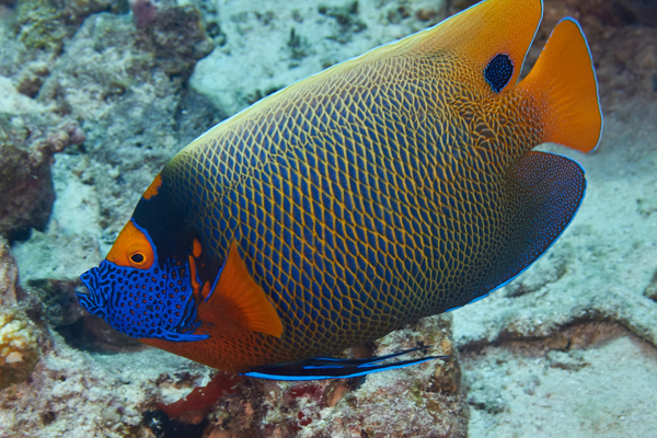 Angelfish - Blue-faced Angelfish