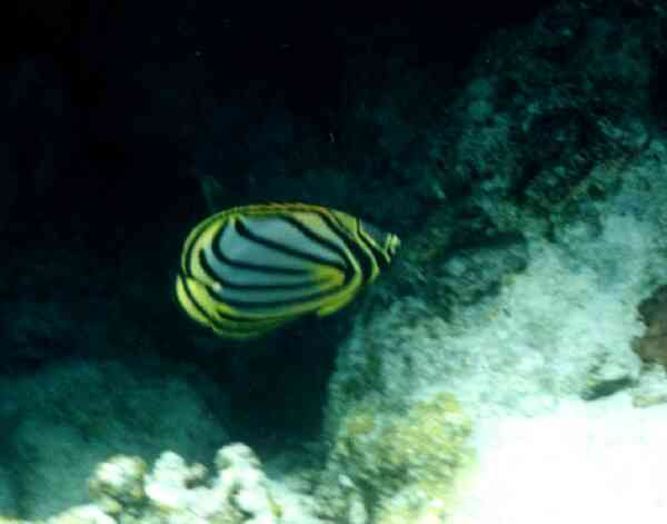 Butterflyfish - Ornate Butterflyfish