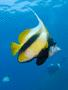 Butterflyfish - Red Sea Bannerfish - Heniochus intermedius