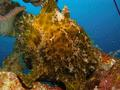 Frogfish - Commerson's Frogfish - Antenarius commerson