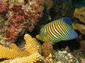 Angelfish - Royal Angelfish - Pygoplites diacanthus