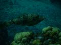 Filefish - Scrawled Filefish - Aluterus scriptus