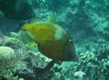 Filefish - Whitespotted Filefish - Cantherhines macrocerus
