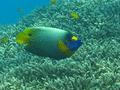 Angelfish - Blue-faced Angelfish - Pomacanthus xanthometopon